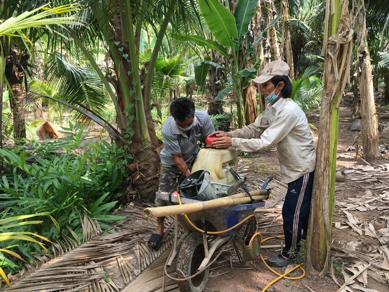 Dịch sâu đầu đen tấn công vườn dừa Bến Tre -0