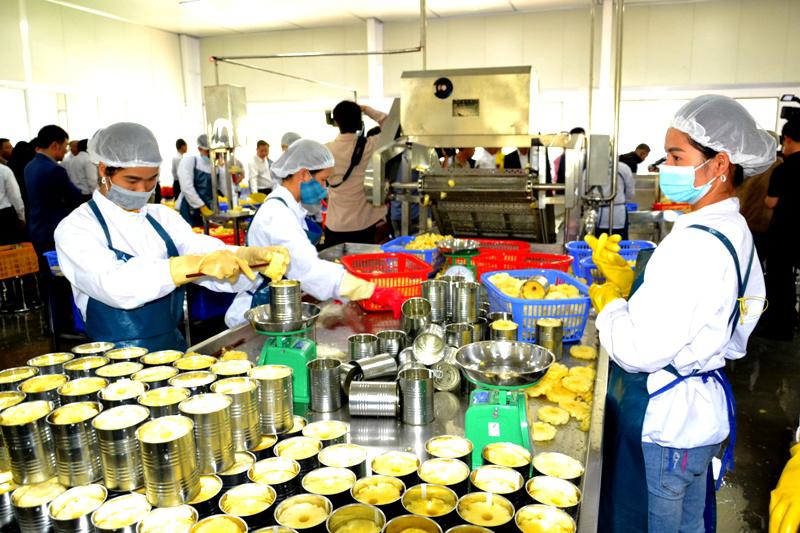 Thủ phủ chuối, dứa ở Lào Cai có nhà máy chế biến xuất khẩu, công suất lớn -0