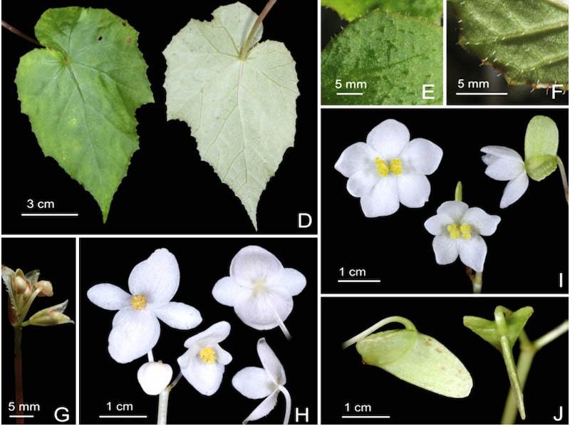 Công bố bốn loài thực vật mới có xuất xứ từ Vườn quốc gia Bidoup-Núi Bà -0