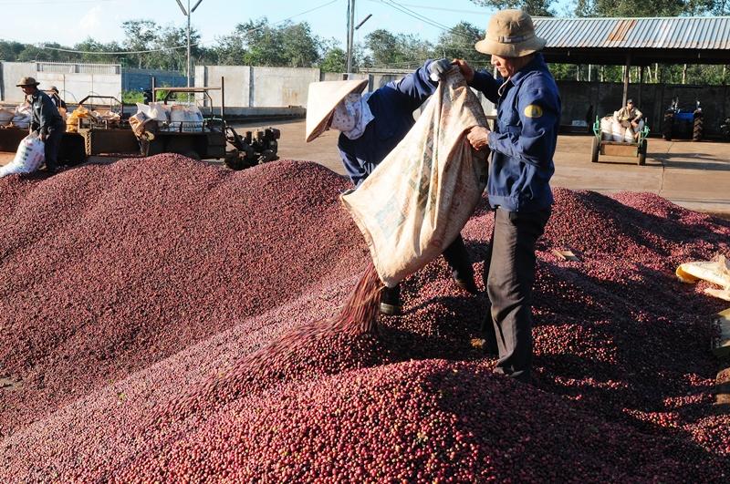 Tạo đà phát triển bền vững cho cà-phê Việt Nam -0