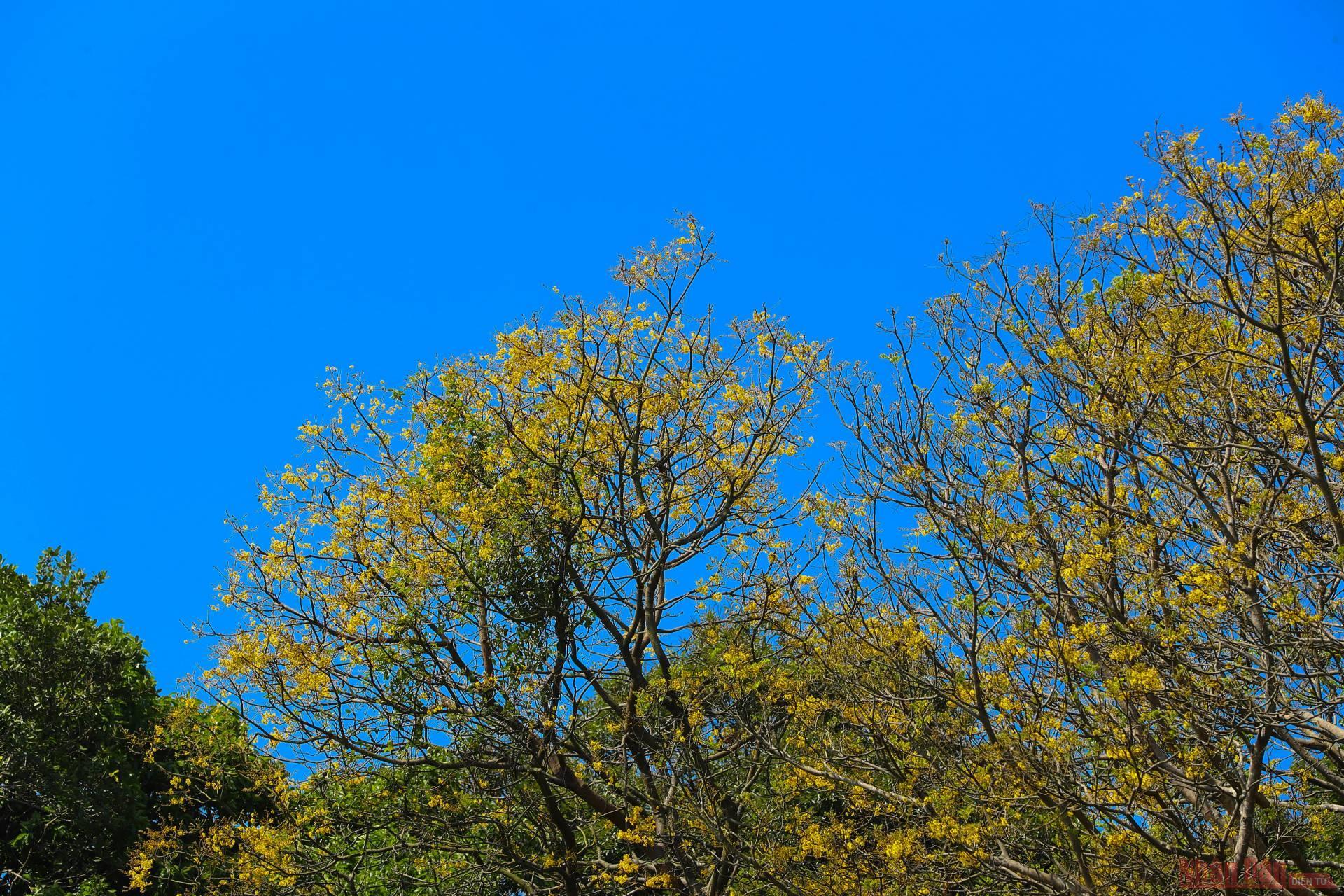 Voọc chà vá chân nâu giữa rừng hoa lim xẹt bán đảo Sơn Trà -0