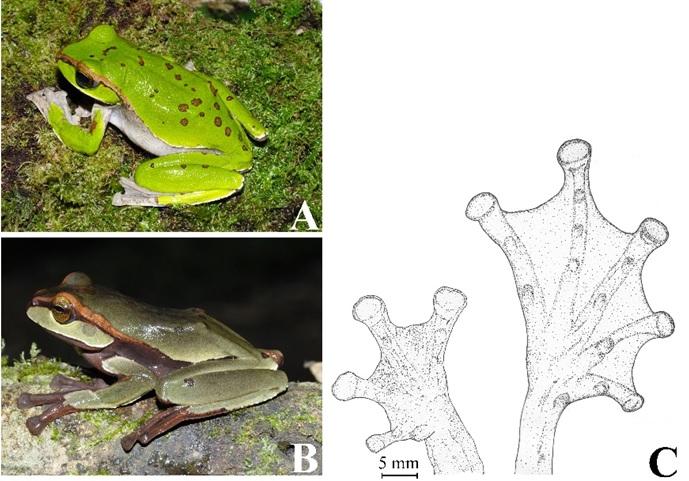 Việt Nam phát hiện ba loài ếch cây mới -0