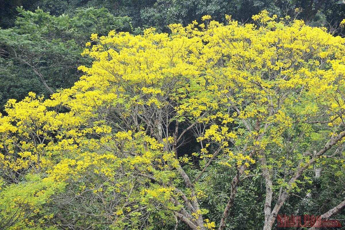 Về Tân Trào mùa hoa lim vang -0