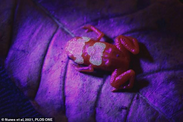 Phát hiện loài cóc bí ngô cực độc phát sáng trong bóng tối -0