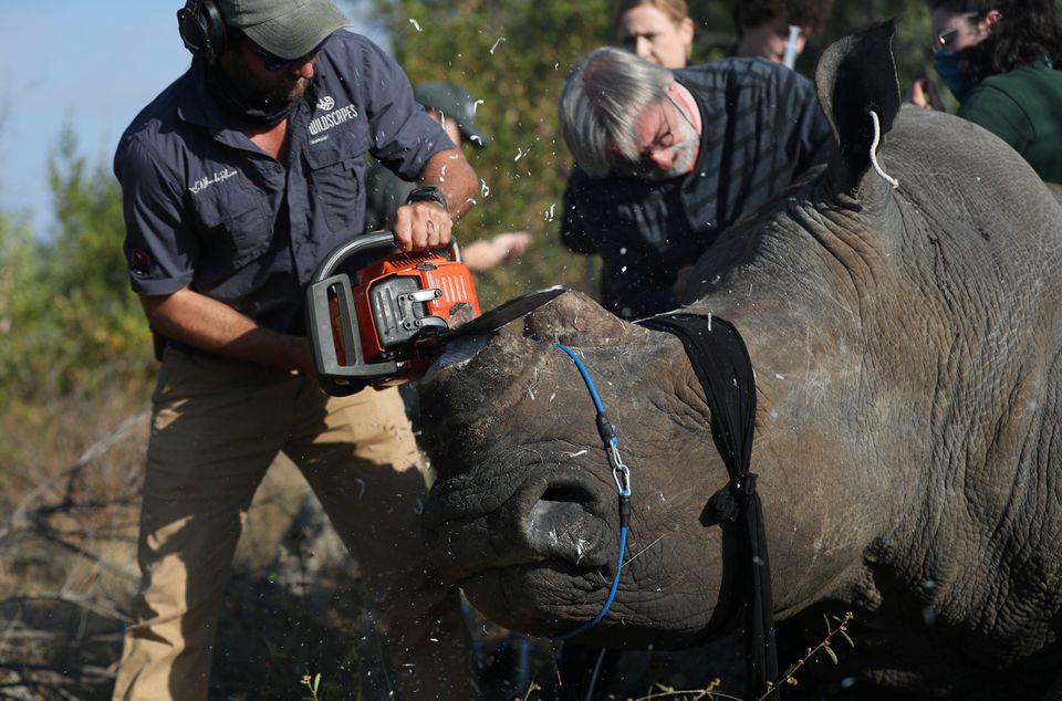 Nạn săn trộm tê giác gia tăng trở lại ở Nam Phi -0