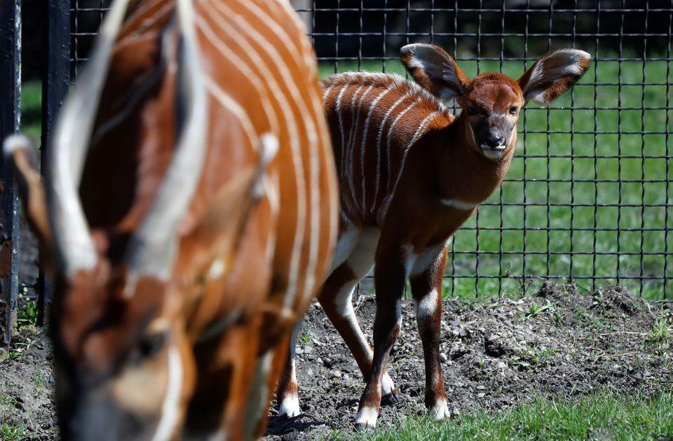 Linh dương núi cực kỳ nguy cấp được sinh ra tại vườn thú Ba Lan -3