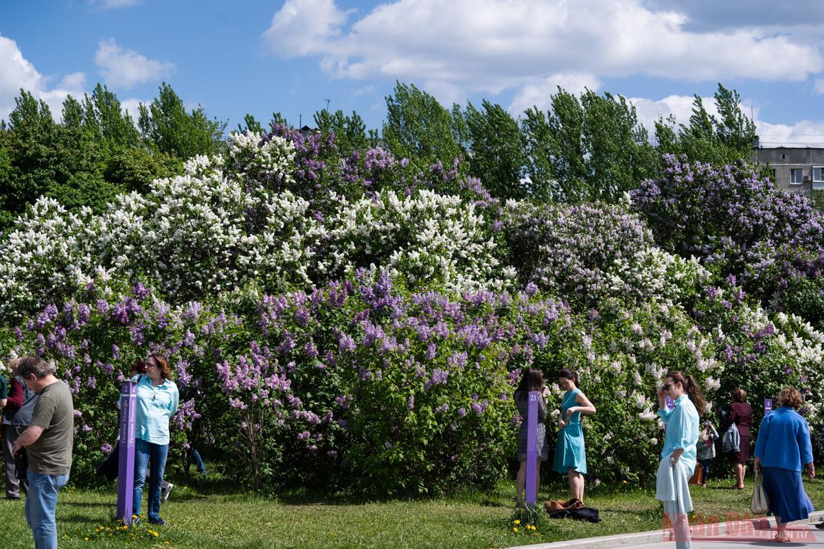 Mê mẩn vườn Tử đinh hương giữa lòng thủ đô Moscow -1