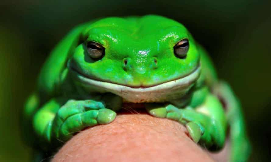 Phát hiện loài ếch cây màu chocolate bí ẩn -0