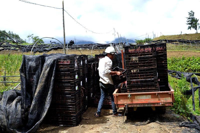 Nông dân Sa Pa vượt dịch phát triển sản xuất -0