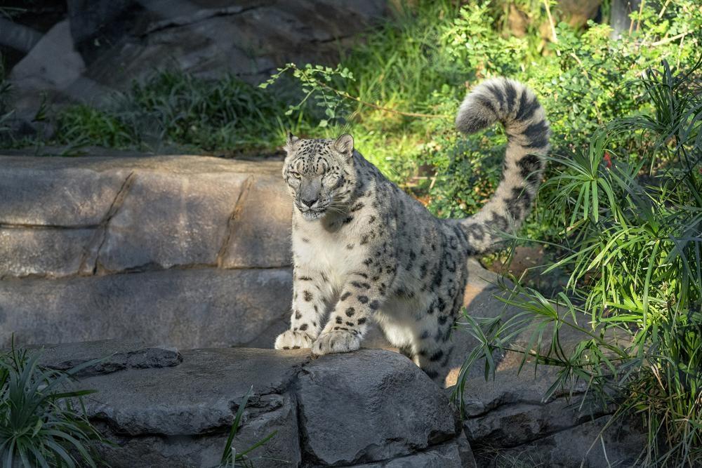 Báo tuyết tại vườn thú Mỹ mắc Covid-19 -0