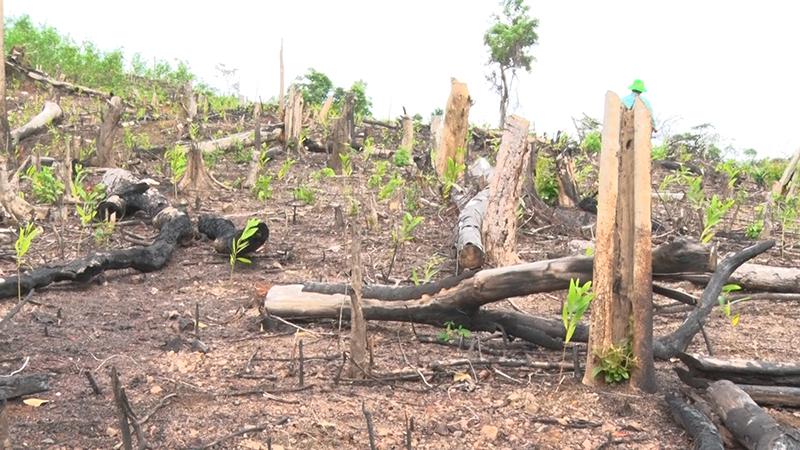 Phát hiện thêm nhiều diện tích rừng tự nhiên tại Phú Yên bị tàn phá nghiêm trọng -0