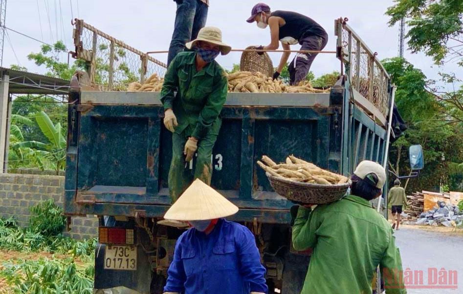Gỡ vướng trong sản xuất mùa dịch để thu mua sắn nguyên liệu cho nông dân -0