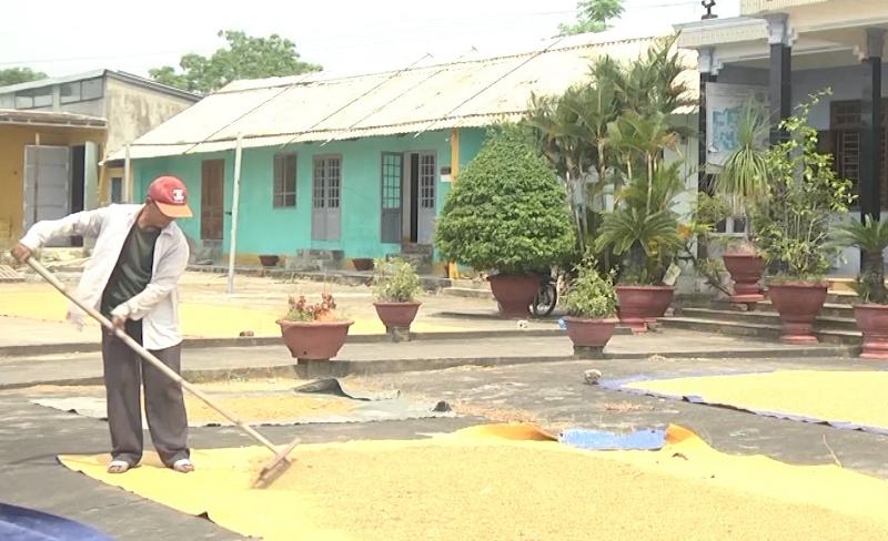 Nông dân Quảng Nam khẩn trương thu hoạch lúa hè thu -0