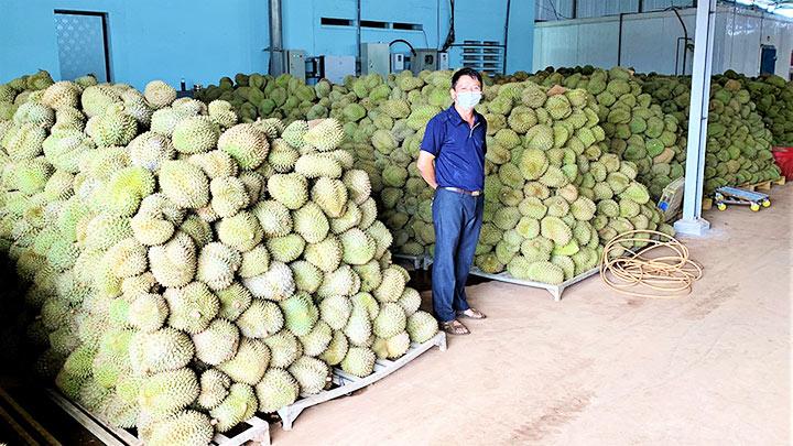 Mùa thu hoạch sầu riêng -0