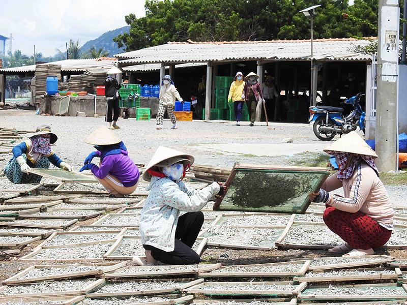 Nhộn nhịp nghề hấp cá ở Ninh Thuận -0