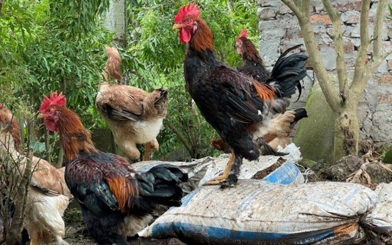 Hồi sinh giống gà Tò tiến Vua trên đất Thái Bình -0